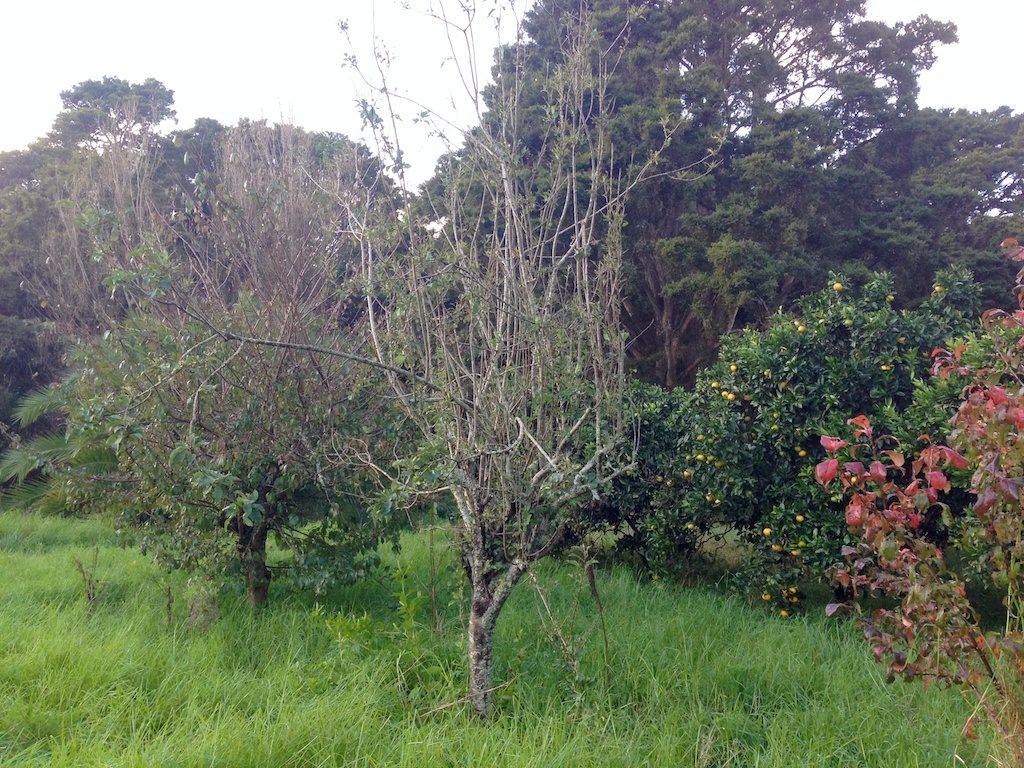 Tortured apple tree