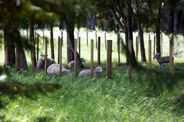 Wiltshire sheep under trees