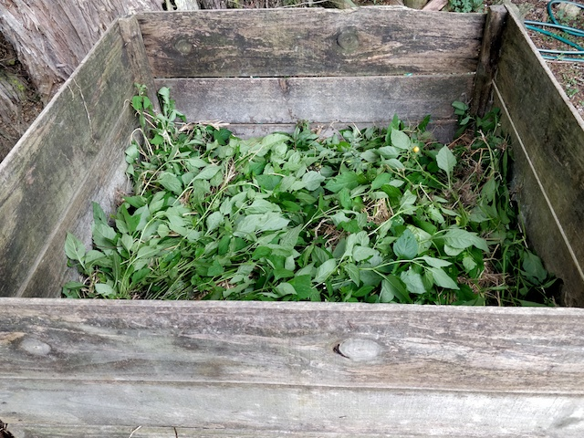 Black nightshade in compost bin
