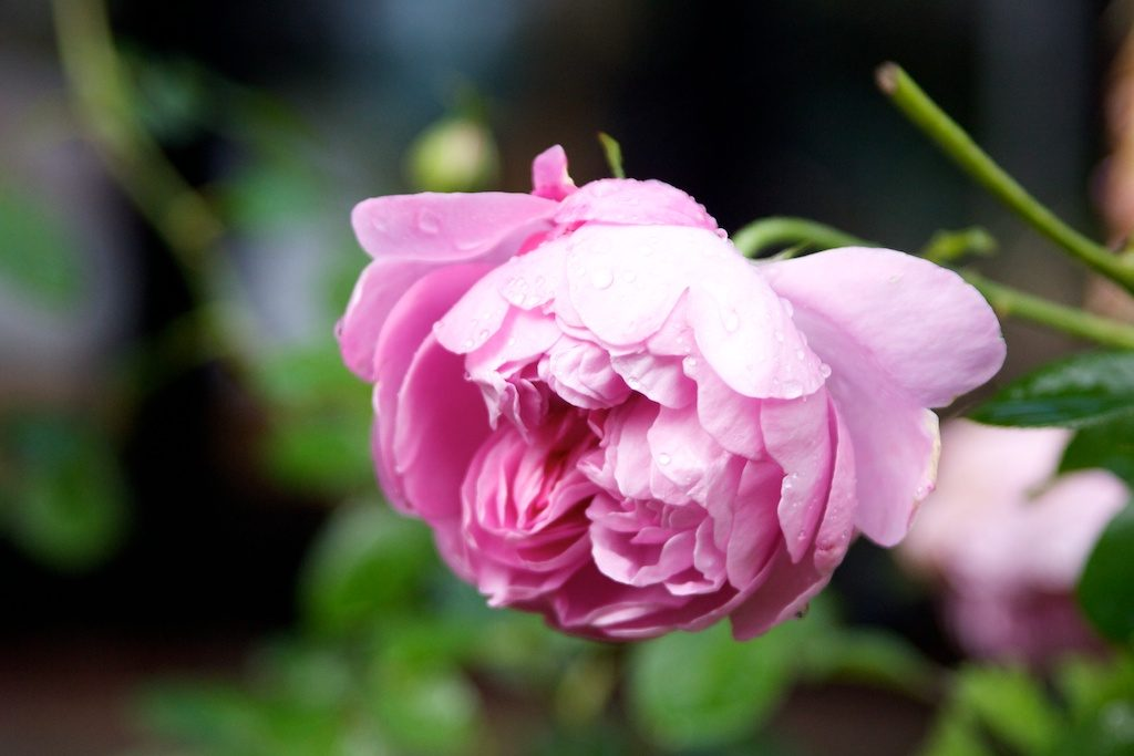 Charles Rennie MacIntosh rose