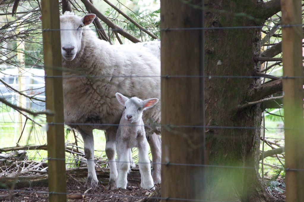 Ewe and lamb