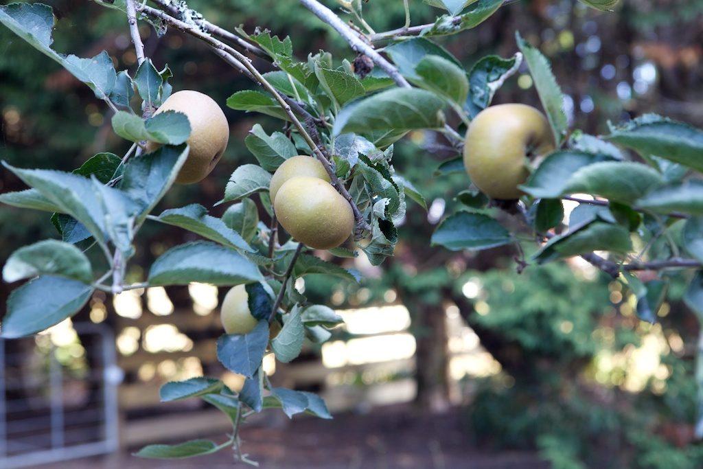 Nashi pears on tree