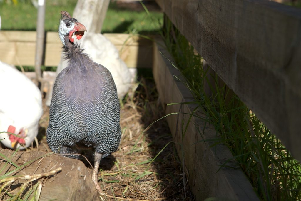 Giselle the guinea fowl