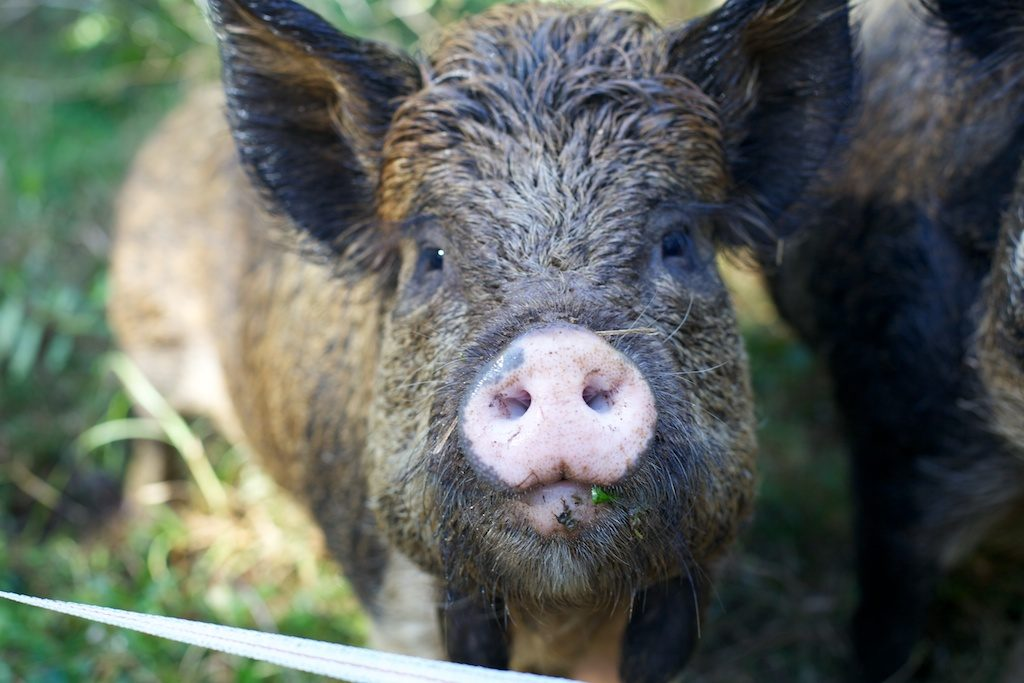 Nell the Kunikuni pig