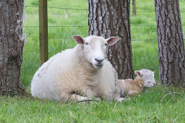 Wiltshire ewe and lamb