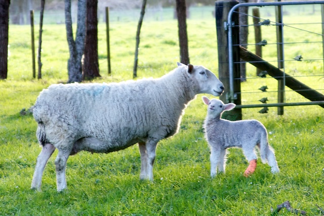 Lamb with splint on broken leg