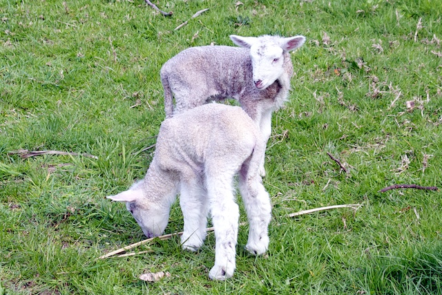 Whiltshire lambs