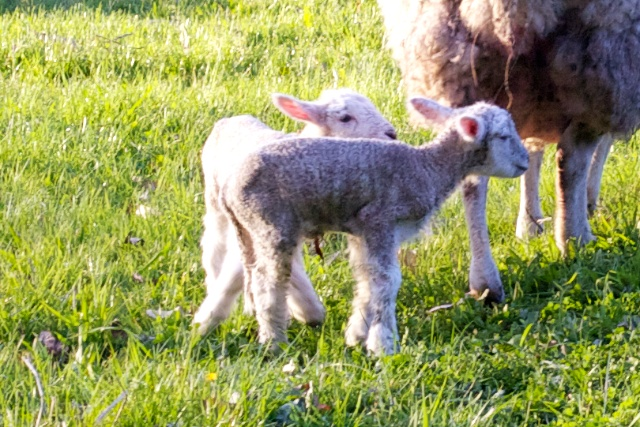 Twin Whiltshire lambs