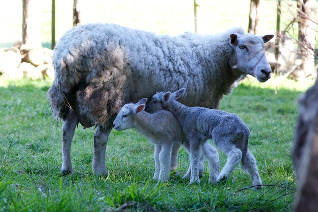 Whiltshire twin lambs