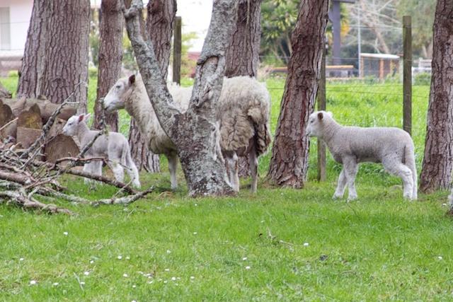 Whiltshire lamb